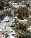 """Gelber Lauch - Allium flavum; Bildquelle: <a href=""""https://www.pflanzen-deutschland.de/quellen.php?bild_quelle=Wikipedia User Abalg"""">Wikipedia User Abalg</a>; Bildlizenz: <a href=""""https://creativecommons.org/licenses/by-sa/3.0/deed.de"""" target=_blank title=""""Namensnennung - Weitergabe unter gleichen Bedingungen 3.0 Unported (CC BY-SA 3.0)"""">CC BY-SA 3.0</a>; <br>Wiki Commons Bildbeschreibung: <a href=""""https://commons.wikimedia.org/wiki/File:Allium_flavum_08072001_2.JPG"""" target=_blank title=""""https://commons.wikimedia.org/wiki/File:Allium_flavum_08072001_2.JPG"""">https://commons.wikimedia.org/wiki/File:Allium_flavum_08072001_2.JPG</a>"""