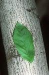 """Kahle Felsenbirne - Amelanchier laevis; Bildquelle: <a href=""""https://www.pflanzen-deutschland.de/quellen.php?bild_quelle=Wikipedia User Tim1357"""">Wikipedia User Tim1357</a>; Bildlizenz: <a href=""""https://creativecommons.org/licenses/by-sa/3.0/deed.de"""" target=_blank title=""""Namensnennung - Weitergabe unter gleichen Bedingungen 3.0 Unported (CC BY-SA 3.0)"""">CC BY-SA 3.0</a>; <br>Wiki Commons Bildbeschreibung: <a href=""""https://commons.wikimedia.org/wiki/File:Amelanchier_laevis.jpg"""" target=_blank title=""""https://commons.wikimedia.org/wiki/File:Amelanchier_laevis.jpg"""">https://commons.wikimedia.org/wiki/File:Amelanchier_laevis.jpg</a>"""