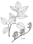 "Kahle Felsenbirne - Amelanchier laevis; Bildquelle: <a href=""https://www.pflanzen-deutschland.de/quellen.php?bild_quelle=USDA-NRCS PLANTS Database / USDA NRCS. Wetland flora Field office illustrated guide to plant species. "">USDA-NRCS PLANTS Database / USDA NRCS. Wetland flora Field office illustrated guide to plant species. </a>; Bildlizenz: <a href=""https://creativecommons.org/licenses/by-sa/3.0/deed.de"" target=_blank title=""Namensnennung - Weitergabe unter gleichen Bedingungen 3.0 Unported (CC BY-SA 3.0)"">CC BY-SA 3.0</a>; <br>Wiki Commons Bildbeschreibung: <a href=""https://commons.wikimedia.org/wiki/File:Amelanchier_laevis_NRCS-1.png"" target=_blank title=""https://commons.wikimedia.org/wiki/File:Amelanchier_laevis_NRCS-1.png"">https://commons.wikimedia.org/wiki/File:Amelanchier_laevis_NRCS-1.png</a>"