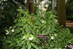 """Spitzblättriges Schiefblatt - Begonia acutifolia; Bildquelle: <a href=""""https://www.pflanzen-deutschland.de/quellen.php?bild_quelle=Wikipedia User File Upload Bot Magnus Manske"""">Wikipedia User File Upload Bot Magnus Manske</a>; Bildlizenz: <a href=""""https://creativecommons.org/licenses/by-sa/2.0/deed.de"""" target=_blank title=""""Namensnennung - Weitergabe unter gleichen Bedingungen 2.0 Unported (CC BY-SA 2.0)"""">CC BY 2.0</a>; <br>Wiki Commons Bildbeschreibung: <a href=""""https://commons.wikimedia.org/wiki/File:Begonia_acutifolia_(3072478625).jpg"""" target=_blank title=""""https://commons.wikimedia.org/wiki/File:Begonia_acutifolia_(3072478625).jpg"""">https://commons.wikimedia.org/wiki/File:Begonia_acutifolia_(3072478625).jpg</a>"""