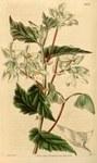 """Spitzblättriges Schiefblatt - Begonia acutifolia; Bildquelle: <a href=""""https://www.pflanzen-deutschland.de/quellen.php?bild_quelle=Wikipedia User Uleli"""">Wikipedia User Uleli</a>; Bildlizenz: <a href=""""https://creativecommons.org/licenses/publicdomain/deed.de"""" target=_blank title=""""Public Domain"""">Public Domain</a>;"""