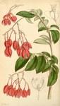 """Schiefblatt - Begonia fuchsioides; Bildquelle: <a href=""""https://www.pflanzen-deutschland.de/quellen.php?bild_quelle=Wikipedia User Uleli"""">Wikipedia User Uleli</a>; Bildlizenz: <a href=""""https://creativecommons.org/licenses/publicdomain/deed.de"""" target=_blank title=""""Public Domain"""">Public Domain</a>;"""