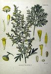"""Wermut - Artemisia absinthium; Bildquelle: <a href=""""http://www.pflanzen-deutschland.de/quellen.php?bild_quelle=Köhlers Medizinal-Pflanzen in naturgetreuen Abbildungen mit kurz erläuterndem Texte. Band 1. 1887"""">Köhlers Medizinal-Pflanzen in naturgetreuen Abbildungen mit kurz erläuterndem Texte. Band 1. 1887</a>; Bildlizenz: <a href=""""https://creativecommons.org/licenses/publicdomain/deed.de"""" target=_blank title=""""Public Domain"""">Public Domain</a>;"""