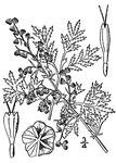 """Einjähriger Beifuß - Artemisia annua; Bildquelle: <a href=""""https://www.pflanzen-deutschland.de/quellen.php?bild_quelle=Wikipedia User JoJan"""">Wikipedia User JoJan</a>; Bildlizenz: <a href=""""https://creativecommons.org/licenses/by-sa/3.0/deed.de"""" target=_blank title=""""Namensnennung - Weitergabe unter gleichen Bedingungen 3.0 Unported (CC BY-SA 3.0)"""">CC BY-SA 3.0</a>;"""