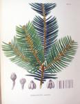 """Säulen-Kopfeibe - Cephalotaxus harringtonia; Bildquelle: <a href=""""https://www.pflanzen-deutschland.de/quellen.php?bild_quelle=Flora Japonica, Sectio Prima 1870"""">Flora Japonica, Sectio Prima 1870</a>; Bildlizenz: <a href=""""https://creativecommons.org/licenses/by-sa/3.0/deed.de"""" target=_blank title=""""Namensnennung - Weitergabe unter gleichen Bedingungen 3.0 Unported (CC BY-SA 3.0)"""">CC BY-SA 3.0</a>;"""