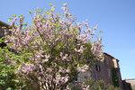 """Judasbaum - Cercis siliquastrum; Bildquelle: <a href=""""https://www.pflanzen-deutschland.de/quellen.php?bild_quelle=Wikipedia User Jean-Pol GRANDMONT"""">Wikipedia User Jean-Pol GRANDMONT</a>; Bildlizenz: <a href=""""https://creativecommons.org/licenses/by-sa/3.0/deed.de"""" target=_blank title=""""Namensnennung - Weitergabe unter gleichen Bedingungen 3.0 Unported (CC BY-SA 3.0)"""">CC BY-SA 3.0</a>;"""