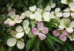 "Blumenhartriegel - Cornus florida; Bildquelle: <a href=""https://www.pflanzen-deutschland.de/quellen.php?bild_quelle=Wikipedia User Meisam"">Wikipedia User Meisam</a>; Bildlizenz: <a href=""https://creativecommons.org/publicdomain/zero/1.0/deed.de"" target=_blank title=""CC0 1.0 Universell (CC0 1.0)"">CC0 1.0</a>; <br>Wiki Commons Bildbeschreibung: <a href=""https://commons.wikimedia.org/wiki/File:Cornus_florida_(flowering_dogwood)_(31681741022).jpg"" target=_blank title=""https://commons.wikimedia.org/wiki/File:Cornus_florida_(flowering_dogwood)_(31681741022).jpg"">https://commons.wikimedia.org/wiki/File:Cornus_florida_(flowering_dogwood)_(31681741022).jpg</a>"