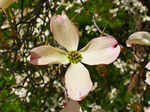 "Blumenhartriegel - Cornus florida; Bildquelle: <a href=""https://www.pflanzen-deutschland.de/quellen.php?bild_quelle=Wikipedia User Llez"">Wikipedia User Llez</a>; Bildlizenz: <a href=""https://creativecommons.org/licenses/by-sa/3.0/deed.de"" target=_blank title=""Namensnennung - Weitergabe unter gleichen Bedingungen 3.0 Unported (CC BY-SA 3.0)"">CC BY-SA 3.0</a>; <br>Wiki Commons Bildbeschreibung: <a href=""https://commons.wikimedia.org/wiki/File:Cornus_florida_003.JPG"" target=_blank title=""https://commons.wikimedia.org/wiki/File:Cornus_florida_003.JPG"">https://commons.wikimedia.org/wiki/File:Cornus_florida_003.JPG</a>"