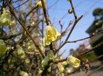 """Scheinhasel - Corylopsis pauciflora; Bildquelle: <a href=""""https://www.pflanzen-deutschland.de/quellen.php?bild_quelle=Wikipedia User KENPEI"""">Wikipedia User KENPEI</a>; Bildlizenz: <a href=""""https://creativecommons.org/licenses/by-sa/3.0/deed.de"""" target=_blank title=""""Namensnennung - Weitergabe unter gleichen Bedingungen 3.0 Unported (CC BY-SA 3.0)"""">CC BY-SA 3.0</a>;"""