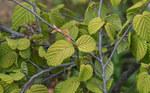 """Scheinhasel - Corylopsis pauciflora; Bildquelle: <a href=""""https://www.pflanzen-deutschland.de/quellen.php?bild_quelle=Wikipedia User Dinkum"""">Wikipedia User Dinkum</a>; Bildlizenz: <a href=""""https://creativecommons.org/licenses/by-sa/3.0/deed.de"""" target=_blank title=""""Namensnennung - Weitergabe unter gleichen Bedingungen 3.0 Unported (CC BY-SA 3.0)"""">CC BY-SA 3.0</a>; <br>Wiki Commons Bildbeschreibung: <a href=""""https://commons.wikimedia.org/wiki/File:Corylopsis_pauciflora.jpg"""" target=_blank title=""""https://commons.wikimedia.org/wiki/File:Corylopsis_pauciflora.jpg"""">https://commons.wikimedia.org/wiki/File:Corylopsis_pauciflora.jpg</a>"""