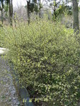 """Scheinhasel - Corylopsis pauciflora; Bildquelle: <a href=""""https://www.pflanzen-deutschland.de/quellen.php?bild_quelle=Wikipedia User KENPEI"""">Wikipedia User KENPEI</a>; Bildlizenz: <a href=""""https://creativecommons.org/licenses/by-sa/3.0/deed.de"""" target=_blank title=""""Namensnennung - Weitergabe unter gleichen Bedingungen 3.0 Unported (CC BY-SA 3.0)"""">CC BY-SA 3.0</a>; <br>Wiki Commons Bildbeschreibung: <a href=""""https://commons.wikimedia.org/wiki/File:Corylopsis_pauciflora2.jpg"""" target=_blank title=""""https://commons.wikimedia.org/wiki/File:Corylopsis_pauciflora2.jpg"""">https://commons.wikimedia.org/wiki/File:Corylopsis_pauciflora2.jpg</a>"""