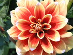 "Garten-Dahlie - Dahlia pinnata; Bildquelle: <a href=""https://www.pflanzen-deutschland.de/quellen.php?bild_quelle=Wikipedia User Luke1ace"">Wikipedia User Luke1ace</a>; Bildlizenz: <a href=""https://creativecommons.org/licenses/by-sa/3.0/deed.de"" target=_blank title=""Namensnennung - Weitergabe unter gleichen Bedingungen 3.0 Unported (CC BY-SA 3.0)"">CC BY-SA 3.0</a>;"