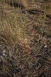 """Feld-Beifuß - Artemisia campestris; Bildquelle: <a href=""""https://www.pflanzen-deutschland.de/quellen.php?bild_quelle=Wikipedia User Franz Xaver"""">Wikipedia User Franz Xaver</a>; Bildlizenz: <a href=""""https://creativecommons.org/licenses/by-sa/3.0/deed.de"""" target=_blank title=""""Namensnennung - Weitergabe unter gleichen Bedingungen 3.0 Unported (CC BY-SA 3.0)"""">CC BY-SA 3.0</a>;"""