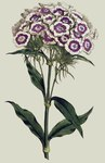 "Bartnelke - Dianthus barbatus; Bildquelle: <a href=""https://www.pflanzen-deutschland.de/quellen.php?bild_quelle=Wikipedia User Rotational"">Wikipedia User Rotational</a>; Bildlizenz: <a href=""https://creativecommons.org/licenses/by-sa/3.0/deed.de"" target=_blank title=""Namensnennung - Weitergabe unter gleichen Bedingungen 3.0 Unported (CC BY-SA 3.0)"">CC BY-SA 3.0</a>;"