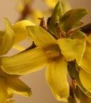 """Goldglöckchen - Forsythia x intermedia; Bildquelle: <a href=""""https://www.pflanzen-deutschland.de/quellen.php?bild_quelle=Wikipedia User Hedwig Storch"""">Wikipedia User Hedwig Storch</a>; Bildlizenz: <a href=""""https://creativecommons.org/licenses/by-sa/3.0/deed.de"""" target=_blank title=""""Namensnennung - Weitergabe unter gleichen Bedingungen 3.0 Unported (CC BY-SA 3.0)"""">CC BY-SA 3.0</a>;"""