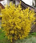 """Goldglöckchen - Forsythia x intermedia; Bildquelle: &copy; <a href=""""https://www.pflanzen-deutschland.de/quellen.php?bild_quelle=Bönisch 2012"""">Bönisch 2012</a> - <b>All rights reserved</b>"""
