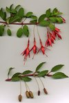 """Scharlach-Fuchsie - Fuchsia magellanica; Bildquelle: <a href=""""https://www.pflanzen-deutschland.de/quellen.php?bild_quelle=Wikipedia User Glimz"""">Wikipedia User Glimz</a>; Bildlizenz: <a href=""""https://creativecommons.org/licenses/by-sa/3.0/deed.de"""" target=_blank title=""""Namensnennung - Weitergabe unter gleichen Bedingungen 3.0 Unported (CC BY-SA 3.0)"""">CC BY-SA 3.0</a>;"""