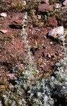 """Strand-Beifuß - Artemisia maritima; Bildquelle: <a href=""""https://www.pflanzen-deutschland.de/quellen.php?bild_quelle=Wikipedia User Thiotrix"""">Wikipedia User Thiotrix</a>; Bildlizenz: <a href=""""https://creativecommons.org/licenses/by-sa/3.0/deed.de"""" target=_blank title=""""Namensnennung - Weitergabe unter gleichen Bedingungen 3.0 Unported (CC BY-SA 3.0)"""">CC BY-SA 3.0</a>;"""