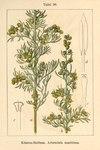 "Strand-Beifuß - Artemisia maritima; Bildquelle: <a href=""https://www.pflanzen-deutschland.de/quellen.php?bild_quelle=Deutschlands Flora in Abbildungen 1796"">Deutschlands Flora in Abbildungen 1796</a>; Bildlizenz: <a href=""https://creativecommons.org/licenses/publicdomain/deed.de"" target=_blank title=""Public Domain"">Public Domain</a>;"
