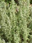 """Pontischer Beifuß - Artemisia pontica; Bildquelle: <a href=""""https://www.pflanzen-deutschland.de/quellen.php?bild_quelle=Wikipedia User MPF"""">Wikipedia User MPF</a>; Bildlizenz: <a href=""""https://creativecommons.org/licenses/by-sa/3.0/deed.de"""" target=_blank title=""""Namensnennung - Weitergabe unter gleichen Bedingungen 3.0 Unported (CC BY-SA 3.0)"""">CC BY-SA 3.0</a>;"""