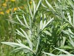 """Gewöhnlicher Beifuß - Artemisia vulgaris; Bildquelle: <a href=""""http://www.pflanzen-deutschland.de/quellen.php?bild_quelle=Wikipedia User Nonenmac"""">Wikipedia User Nonenmac</a>; Bildlizenz: <a href=""""https://creativecommons.org/licenses/by/4.0/deed.de"""" target=_blank title=""""Namensnennung 4.0 International (CC BY 4.0)"""">CC BY 4.0</a>; <br>Wiki Commons Bildbeschreibung: <a href=""""https://commons.wikimedia.org/wiki/File:Artemisia_vulgaris_-_mugwort_0081.jpg"""" target=_blank title=""""https://commons.wikimedia.org/wiki/File:Artemisia_vulgaris_-_mugwort_0081.jpg"""">https://commons.wikimedia.org/wiki/File:Artemisia_vulgaris_-_mugwort_0081.jpg</a>"""