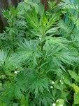 """Gewöhnlicher Beifuß - Artemisia vulgaris; Bildquelle: <a href=""""http://www.pflanzen-deutschland.de/quellen.php?bild_quelle=Wikipedia User Rotatebot"""">Wikipedia User Rotatebot</a>; Bildlizenz: <a href=""""https://creativecommons.org/licenses/by-sa/3.0/deed.de"""" target=_blank title=""""Namensnennung - Weitergabe unter gleichen Bedingungen 3.0 Unported (CC BY-SA 3.0)"""">CC BY-SA 3.0</a>;"""