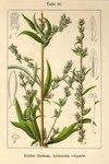 """Gewöhnlicher Beifuß - Artemisia vulgaris; Bildquelle: <a href=""""https://www.pflanzen-deutschland.de/quellen.php?bild_quelle=Deutschlands Flora in Abbildungen 1796"""">Deutschlands Flora in Abbildungen 1796</a>; Bildlizenz: <a href=""""https://creativecommons.org/licenses/publicdomain/deed.de"""" target=_blank title=""""Public Domain"""">Public Domain</a>;"""