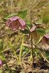 """Christrose - Helleborus niger; Bildquelle: © <a href=""""https://www.pflanzen-deutschland.de/quellen.php?bild_quelle=Bönisch 2016"""">Bönisch 2016</a> - <b>All rights reserved</b>"""