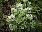"""Besen-Beifuß - Artemisia scoparia; Bildquelle: <a href=""""https://www.pflanzen-deutschland.de/quellen.php?bild_quelle=Wikipedia User Qwert1234"""">Wikipedia User Qwert1234</a>; Bildlizenz: <a href=""""https://creativecommons.org/licenses/by-sa/3.0/deed.de"""" target=_blank title=""""Namensnennung - Weitergabe unter gleichen Bedingungen 3.0 Unported (CC BY-SA 3.0)"""">CC BY-SA 3.0</a>; <br>Wiki Commons Bildbeschreibung: <a href=""""https://commons.wikimedia.org/wiki/File:Artemisia_capillaris_3.JPG"""" target=_blank title=""""https://commons.wikimedia.org/wiki/File:Artemisia_capillaris_3.JPG"""">https://commons.wikimedia.org/wiki/File:Artemisia_capillaris_3.JPG</a>"""