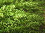 """Besen-Beifuß - Artemisia scoparia; Bildquelle: <a href=""""https://www.pflanzen-deutschland.de/quellen.php?bild_quelle=Wikipedia User Qwert1234"""">Wikipedia User Qwert1234</a>; Bildlizenz: <a href=""""https://creativecommons.org/licenses/by-sa/3.0/deed.de"""" target=_blank title=""""Namensnennung - Weitergabe unter gleichen Bedingungen 3.0 Unported (CC BY-SA 3.0)"""">CC BY-SA 3.0</a>; <br>Wiki Commons Bildbeschreibung: <a href=""""https://commons.wikimedia.org/wiki/File:Artemisia_capillaris_4.JPG"""" target=_blank title=""""https://commons.wikimedia.org/wiki/File:Artemisia_capillaris_4.JPG"""">https://commons.wikimedia.org/wiki/File:Artemisia_capillaris_4.JPG</a>"""