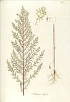 """Besen-Beifuß - Artemisia scoparia; Bildquelle: <a href=""""https://www.pflanzen-deutschland.de/quellen.php?bild_quelle=Waldstein-Wartenbur, F.  Kitaibel, P. 1799-1802 Descriptiones et icones plantarum rariorum Hungariae. 1. Band. Matthias Andrea Schmidt, Wien. Tafel 65."""">Waldstein-Wartenbur, F.  Kitaibel, P. 1799-1802 Descriptiones et icones plantarum rariorum Hungariae. 1. Band. Matthias Andrea Schmidt, Wien. Tafel 65.</a>; Bildlizenz: <a href=""""https://creativecommons.org/licenses/by-sa/3.0/deed.de"""" target=_blank title=""""Namensnennung - Weitergabe unter gleichen Bedingungen 3.0 Unported (CC BY-SA 3.0)"""">CC BY-SA 3.0</a>; <br>Wiki Commons Bildbeschreibung: <a href=""""https://commons.wikimedia.org/wiki/File:Artemisia_scoparia.png"""" target=_blank title=""""https://commons.wikimedia.org/wiki/File:Artemisia_scoparia.png"""">https://commons.wikimedia.org/wiki/File:Artemisia_scoparia.png</a>"""