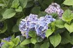 """Hortensie - Hydrangea macrophylla; Bildquelle: <a href=""""https://www.pflanzen-deutschland.de/quellen.php?bild_quelle=Wikipedia User Zcebeci"""">Wikipedia User Zcebeci</a>; Bildlizenz: <a href=""""https://creativecommons.org/licenses/by/4.0/deed.de"""" target=_blank title=""""Namensnennung 4.0 International (CC BY 4.0)"""">CC BY 4.0</a>; <br>Wiki Commons Bildbeschreibung: <a href=""""https://commons.wikimedia.org/wiki/File:Hydrangea_macrophylla,_Giresun_2017-07-05_01-3.jpg"""" target=_blank title=""""https://commons.wikimedia.org/wiki/File:Hydrangea_macrophylla,_Giresun_2017-07-05_01-3.jpg"""">https://commons.wikimedia.org/wiki/File:Hydrangea_macrophylla,_Giresun_2017-07-05_01-3.jpg</a>"""