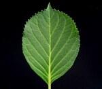 """Hortensie - Hydrangea macrophylla; Bildquelle: <a href=""""https://www.pflanzen-deutschland.de/quellen.php?bild_quelle=Wikipedia User Ies"""">Wikipedia User Ies</a>; Bildlizenz: <a href=""""https://creativecommons.org/licenses/by-sa/3.0/deed.de"""" target=_blank title=""""Namensnennung - Weitergabe unter gleichen Bedingungen 3.0 Unported (CC BY-SA 3.0)"""">CC BY-SA 3.0</a>; <br>Wiki Commons Bildbeschreibung: <a href=""""https://commons.wikimedia.org/wiki/File:Hydrangea_macrophylla3_ies.jpg"""" target=_blank title=""""https://commons.wikimedia.org/wiki/File:Hydrangea_macrophylla3_ies.jpg"""">https://commons.wikimedia.org/wiki/File:Hydrangea_macrophylla3_ies.jpg</a>"""