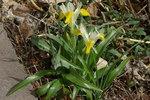 """Geweih-Iris - Iris bucharica; Bildquelle: <a href=""""https://www.pflanzen-deutschland.de/quellen.php?bild_quelle=Wikipedia User JerryFriedman"""">Wikipedia User JerryFriedman</a>; Bildlizenz: <a href=""""https://creativecommons.org/licenses/by-sa/3.0/deed.de"""" target=_blank title=""""Namensnennung - Weitergabe unter gleichen Bedingungen 3.0 Unported (CC BY-SA 3.0)"""">CC BY-SA 3.0</a>;"""