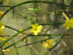 "Winter-Jasmin - Jasminum nudiflorum; Bildquelle: <a href=""https://www.pflanzen-deutschland.de/quellen.php?bild_quelle=Wikipedia User Josve05a"">Wikipedia User Josve05a</a>; Bildlizenz: <a href=""https://creativecommons.org/licenses/by-sa/2.0/deed.de"" target=_blank title=""Namensnennung - Weitergabe unter gleichen Bedingungen 2.0 Unported (CC BY-SA 2.0)"">CC BY 2.0</a>; <br>Wiki Commons Bildbeschreibung: <a href=""https://commons.wikimedia.org/wiki/File:Jasminum_nudiflorum_(16571270087).jpg"" target=_blank title=""https://commons.wikimedia.org/wiki/File:Jasminum_nudiflorum_(16571270087).jpg"">https://commons.wikimedia.org/wiki/File:Jasminum_nudiflorum_(16571270087).jpg</a>"