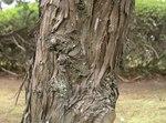 """Chinesischer Wacholder - Juniperus chinensis; Bildquelle: <a href=""""https://www.pflanzen-deutschland.de/quellen.php?bild_quelle=Wikipedia User KENPEI"""">Wikipedia User KENPEI</a>; Bildlizenz: <a href=""""https://creativecommons.org/licenses/by-sa/3.0/deed.de"""" target=_blank title=""""Namensnennung - Weitergabe unter gleichen Bedingungen 3.0 Unported (CC BY-SA 3.0)"""">CC BY-SA 3.0</a>;"""