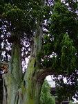 """Chinesischer Wacholder - Juniperus chinensis; Bildquelle: <a href=""""https://www.pflanzen-deutschland.de/quellen.php?bild_quelle=Wikipedia User MPF"""">Wikipedia User MPF</a>; Bildlizenz: <a href=""""https://creativecommons.org/licenses/by-sa/3.0/deed.de"""" target=_blank title=""""Namensnennung - Weitergabe unter gleichen Bedingungen 3.0 Unported (CC BY-SA 3.0)"""">CC BY-SA 3.0</a>;"""