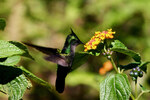 "Wandelröschen - Lantana camara; Bildquelle: <a href=""https://www.pflanzen-deutschland.de/quellen.php?bild_quelle=Wikipedia User Charlesjsharp"">Wikipedia User Charlesjsharp</a>; Bildlizenz: <a href=""https://creativecommons.org/licenses/by-sa/3.0/deed.de"" target=_blank title=""Namensnennung - Weitergabe unter gleichen Bedingungen 3.0 Unported (CC BY-SA 3.0)"">CC BY-SA 3.0</a>; <br>Wiki Commons Bildbeschreibung: <a href=""https://commons.wikimedia.org/wiki/File:Antillean_crested_hummingbird_feeding.jpg"" target=_blank title=""https://commons.wikimedia.org/wiki/File:Antillean_crested_hummingbird_feeding.jpg"">https://commons.wikimedia.org/wiki/File:Antillean_crested_hummingbird_feeding.jpg</a>"