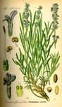 """Echter Lavendel - Lavandula angustifolia; Bildquelle: <a href=""""https://www.pflanzen-deutschland.de/quellen.php?bild_quelle=Prof. Dr. Otto Wilhelm Thome Flora von Deutschland, Österreich und der Schweiz 1885, Gera, Germany"""">Prof. Dr. Otto Wilhelm Thome Flora von Deutschland, Österreich und der Schweiz 1885, Gera, Germany</a>; Bildlizenz: <a href=""""https://creativecommons.org/licenses/publicdomain/deed.de"""" target=_blank title=""""Public Domain"""">Public Domain</a>;"""