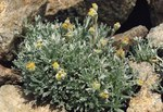 "Echte Edelraute - Artemisia umbelliformis; Bildquelle: <a href=""https://www.pflanzen-deutschland.de/quellen.php?bild_quelle=Wikipedia User Ghislain118"">Wikipedia User Ghislain118</a>; Bildlizenz: <a href=""https://creativecommons.org/licenses/by-sa/3.0/deed.de"" target=_blank title=""Namensnennung - Weitergabe unter gleichen Bedingungen 3.0 Unported (CC BY-SA 3.0)"">CC BY-SA 3.0</a>; <br>Wiki Commons Bildbeschreibung: <a href=""https://commons.wikimedia.org/wiki/File:Artemisia_umbelliformis.jpg"" target=_blank title=""https://commons.wikimedia.org/wiki/File:Artemisia_umbelliformis.jpg"">https://commons.wikimedia.org/wiki/File:Artemisia_umbelliformis.jpg</a>"