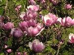 """Tulpen-Magnolie - Magnolia x soulangeana; Bildquelle: <a href=""""https://www.pflanzen-deutschland.de/quellen.php?bild_quelle=Wikipedia User Timichal"""">Wikipedia User Timichal</a>; Bildlizenz: <a href=""""https://creativecommons.org/licenses/by-sa/3.0/deed.de"""" target=_blank title=""""Namensnennung - Weitergabe unter gleichen Bedingungen 3.0 Unported (CC BY-SA 3.0)"""">CC BY-SA 3.0</a>;"""