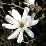 """Sternmagnolie - Magnolia stellata; Bildquelle: <a href=""""https://www.pflanzen-deutschland.de/quellen.php?bild_quelle=Wikipedia User File Upload Bot Magnus Manske"""">Wikipedia User File Upload Bot Magnus Manske</a>; Bildlizenz: <a href=""""https://creativecommons.org/licenses/by-sa/3.0/deed.de"""" target=_blank title=""""Namensnennung - Weitergabe unter gleichen Bedingungen 3.0 Unported (CC BY-SA 3.0)"""">CC BY-SA 3.0</a>; <br>Wiki Commons Bildbeschreibung: <a href=""""https://commons.wikimedia.org/wiki/File:Magnolia_stellata_(2).jpg"""" target=_blank title=""""https://commons.wikimedia.org/wiki/File:Magnolia_stellata_(2).jpg"""">https://commons.wikimedia.org/wiki/File:Magnolia_stellata_(2).jpg</a>"""