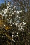 """Sternmagnolie - Magnolia stellata; Bildquelle: <a href=""""https://www.pflanzen-deutschland.de/quellen.php?bild_quelle=Wikipedia User Wouterhagens"""">Wikipedia User Wouterhagens</a>; Bildlizenz: <a href=""""https://creativecommons.org/licenses/by-sa/3.0/deed.de"""" target=_blank title=""""Namensnennung - Weitergabe unter gleichen Bedingungen 3.0 Unported (CC BY-SA 3.0)"""">CC BY-SA 3.0</a>;"""