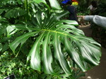 "köstliches Fensterblatt - Philodendron deliciosa; Bildquelle: <a href=""https://www.pflanzen-deutschland.de/quellen.php?bild_quelle=Wikipedia User Piotrus"">Wikipedia User Piotrus</a>; Bildlizenz: <a href=""https://creativecommons.org/licenses/by-sa/2.5/deed.de"" target=_blank title=""Namensnennung - Weitergabe unter gleichen Bedingungen 2.5 Unported (CC BY-SA 2.5)"">CC BY 2.5</a>; <br>Wiki Commons Bildbeschreibung: <a href=""https://commons.wikimedia.org/wiki/File:Monstera_deliciosa-leaf_top.jpg"" target=_blank title=""https://commons.wikimedia.org/wiki/File:Monstera_deliciosa-leaf_top.jpg"">https://commons.wikimedia.org/wiki/File:Monstera_deliciosa-leaf_top.jpg</a>"