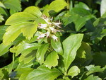 "Dickmännchen - Pachysandra terminalis; Bildquelle: <a href=""https://www.pflanzen-deutschland.de/quellen.php?bild_quelle=Wikipedia User Topjabot"">Wikipedia User Topjabot</a>; Bildlizenz: <a href=""https://creativecommons.org/licenses/by-sa/3.0/deed.de"" target=_blank title=""Namensnennung - Weitergabe unter gleichen Bedingungen 3.0 Unported (CC BY-SA 3.0)"">CC BY-SA 3.0</a>; <br>Wiki Commons Bildbeschreibung: <a href=""https://commons.wikimedia.org/wiki/File:Pachysandra_terminalis0.jpg"" target=_blank title=""https://commons.wikimedia.org/wiki/File:Pachysandra_terminalis0.jpg"">https://commons.wikimedia.org/wiki/File:Pachysandra_terminalis0.jpg</a>"