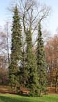 """Serbische Fichte - Picea omorika; Bildquelle: <a href=""""https://www.pflanzen-deutschland.de/quellen.php?bild_quelle=Wikipedia User Crusier"""">Wikipedia User Crusier</a>; Bildlizenz: <a href=""""https://creativecommons.org/licenses/by-sa/3.0/deed.de"""" target=_blank title=""""Namensnennung - Weitergabe unter gleichen Bedingungen 3.0 Unported (CC BY-SA 3.0)"""">CC BY-SA 3.0</a>; <br>Wiki Commons Bildbeschreibung: <a href=""""https://commons.wikimedia.org/wiki/File:Picea_omorika_%C5%81azienki_02.jpg"""" target=_blank title=""""https://commons.wikimedia.org/wiki/File:Picea_omorika_%C5%81azienki_02.jpg"""">https://commons.wikimedia.org/wiki/File:Picea_omorika_%C5%81azienki_02.jpg</a>"""