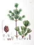 """Blaue Mädchenkiefer - Pinus parviflora; Bildquelle: <a href=""""https://www.pflanzen-deutschland.de/quellen.php?bild_quelle=Philipp Franz von Siebold and Joseph Gerhard Zuccarini"""">Philipp Franz von Siebold and Joseph Gerhard Zuccarini</a>; Bildlizenz: <a href=""""https://creativecommons.org/licenses/by-sa/3.0/deed.de"""" target=_blank title=""""Namensnennung - Weitergabe unter gleichen Bedingungen 3.0 Unported (CC BY-SA 3.0)"""">CC BY-SA 3.0</a>;"""