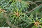 "Weymouthskiefer - Pinus strobus; Bildquelle: <a href=""https://www.pflanzen-deutschland.de/quellen.php?bild_quelle=Wikipedia User David Stang"">Wikipedia User David Stang</a>; Bildlizenz: <a href=""https://creativecommons.org/licenses/by/4.0/deed.de"" target=_blank title=""Namensnennung 4.0 International (CC BY 4.0)"">CC BY 4.0</a>; <br>Wiki Commons Bildbeschreibung: <a href=""https://commons.wikimedia.org/wiki/File:Pinus_strobus_25zz.jpg"" target=_blank title=""https://commons.wikimedia.org/wiki/File:Pinus_strobus_25zz.jpg"">https://commons.wikimedia.org/wiki/File:Pinus_strobus_25zz.jpg</a>"
