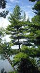 """Weymouthskiefer - Pinus strobus; Bildquelle: <a href=""""https://www.pflanzen-deutschland.de/quellen.php?bild_quelle=Wikipedia User MPF"""">Wikipedia User MPF</a>; Bildlizenz: <a href=""""https://creativecommons.org/licenses/by-sa/3.0/deed.de"""" target=_blank title=""""Namensnennung - Weitergabe unter gleichen Bedingungen 3.0 Unported (CC BY-SA 3.0)"""">CC BY-SA 3.0</a>;"""