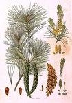 """Weymouthskiefer - Pinus strobus; Bildquelle: <a href=""""https://www.pflanzen-deutschland.de/quellen.php?bild_quelle=Ferdinand Bauer"""">Ferdinand Bauer</a>; Bildlizenz: <a href=""""https://creativecommons.org/licenses/by-sa/3.0/deed.de"""" target=_blank title=""""Namensnennung - Weitergabe unter gleichen Bedingungen 3.0 Unported (CC BY-SA 3.0)"""">CC BY-SA 3.0</a>;"""
